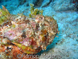 stone fish taken in barracuda reef in playa del carmen aw... by Ramon Magana 